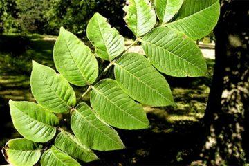 Nắm lá hay giúp giảm ngay bệnh đại tràng